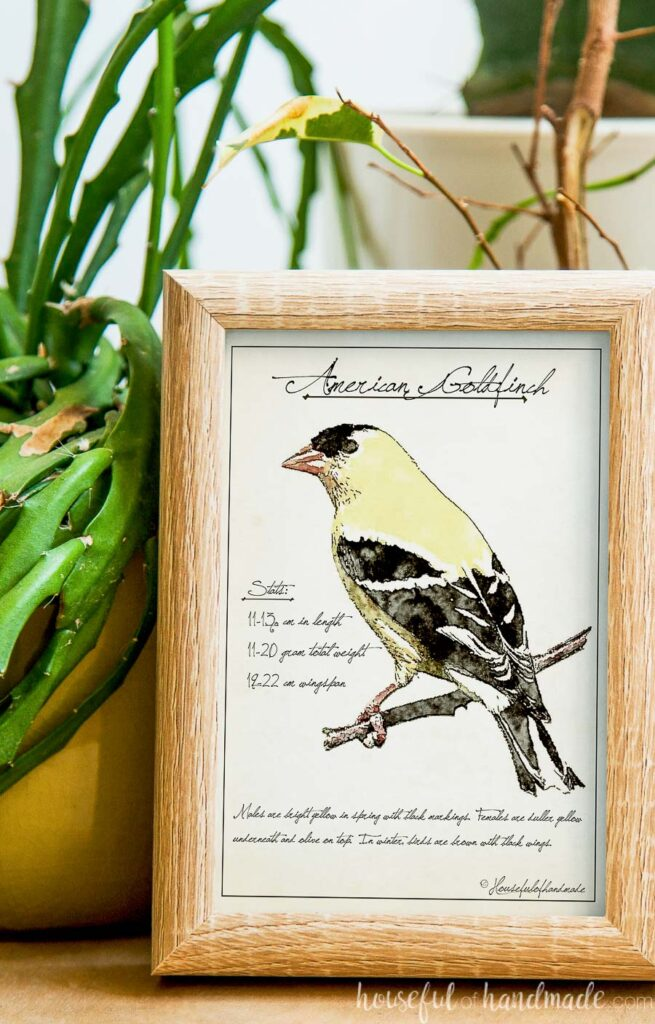 Close up of the American Goldfinch spring bird sketch printable art in a frame next to an aloe vera plant.