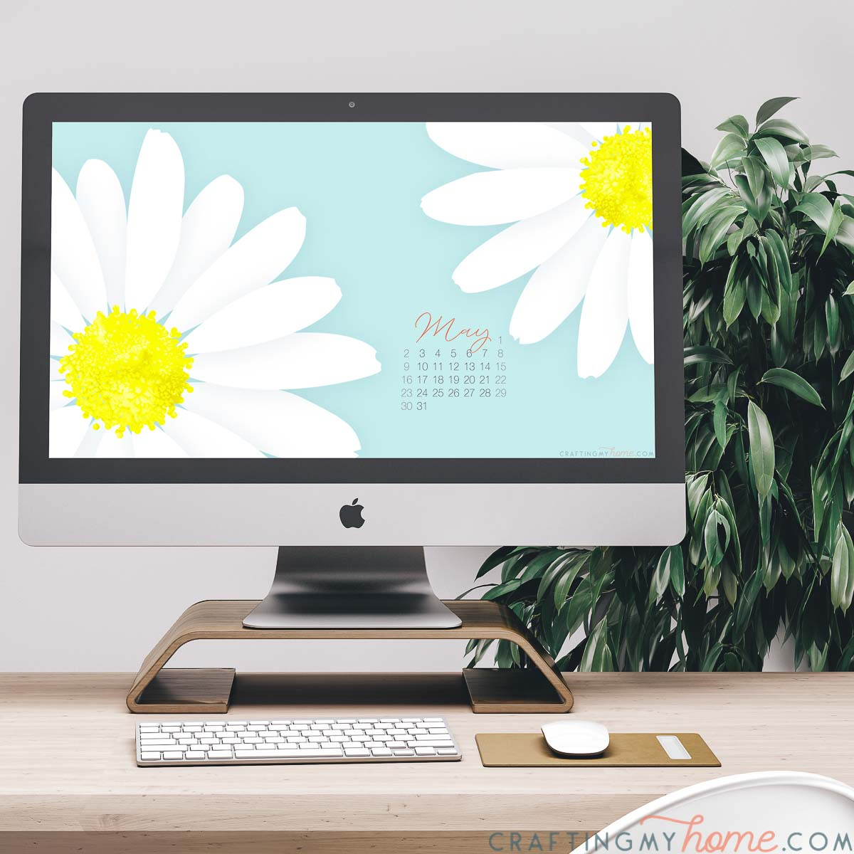 Giant daisy print digital wallpaper with calendar for May on the screen on a computer on a desk in front of a plant.